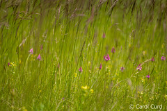 Orchids (Carol Curd) Tags: france meadow millau caussenoir