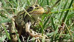 Northern Leopard Frog (U.S. Fish and Wildlife Service - Midwest Region) Tags: summer grass minnesota midwest frog creativecommons frogs mn wmd usfws wetland refuge nationalwildliferefuge nwr leopardfrog northernleopardfrog usfishandwildlifeservice bigstone wetlandmanagementdistrict