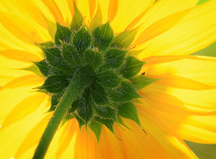 Behind (arbyreed) Tags: plant flower green yellow closeup colorful close bright vivid yellowflower sunflower hairs helianthusannuus asteracea commonsunflower arbyreed