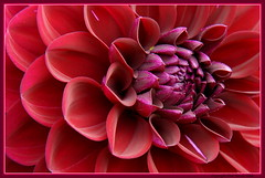 Dahlia (DirkVandeVelde Back) Tags: park dahlia flower fleur flora europa europe belgium belgique belgie sony flor antwerp belgica antwerpen mechelen anvers bloem malines europ vrijbroekpark malinas asteroideae