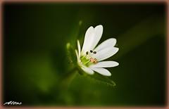 """Un piccolo fiore di campo (5 mm) (Carassius-al) Tags: photoshop bokeh supermacro elaborato artdigital fioredicampo """"exoticimage"""" itsallaboutflowers"""