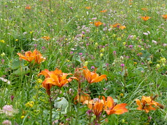 Alpine Meadow #1 (Mike Peacock2005) Tags: summer italy mountains walking europe hiking july august dolomites 2014