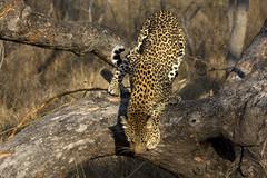 Female Leopard jumping down - Kruger National Park, Mpumalanga, South Africa (Petitecornichon) Tags: africa park cat southafrica south reserve national leopard veld rsa krugernationalpark mpumalanga kruger 2014 panthera bushveld africanleopard pardus subsahara subsaharan republicofsouthafrica pantheraparduspardus