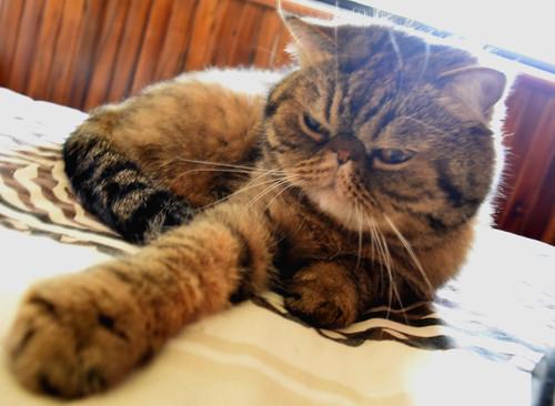 kanjika exotic cat