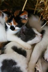 Keeping Cozy (smileyLife) Tags: sleeping cats cute barn snuggle cows farm kitty hay pei