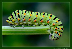 Papilio machaon - 1 (cienne45) Tags: carlonatale cienne45 natale nature caterpillar bruco papiliomachaon multicolours macro ngc profilo6 50fav onlymyfavorite beautyinnature mothernature