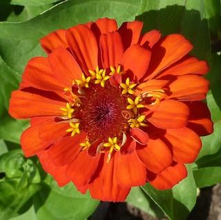Batavia, IL, The Holmstad Garden, Red-Orange Zinna Flower