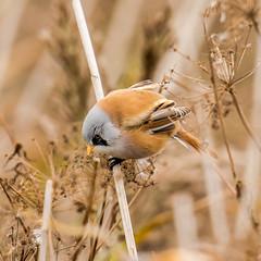 Bearded Tit (mnielsen9000) Tags: bird beardedtit beardedreedling panurusbiarmicus d810 skgmejse