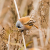 Bearded Tit (mnielsen9000) Tags: bird beardedtit beardedreedling panurusbiarmicus d810 skægmejse