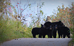 Bear Greeting Committee (Luv Duck - Thanks for 15M Views!) Tags: bears bear cubs alaskawildlife tonyknowlescoastaltrail coastaltrail blackbear motherbearandhercubs
