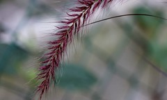 purple fountain grass plume (parrotlady66..) Tags: macro grass purple pale monday dainty canon60d smallfuzzy