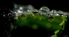 Each raindrop is a kiss from heaven (SteffPicture) Tags: raindrop drops green steffpicture macro 2014 canon 5d3 100mm regentropfen tropf wassertropf grün makro bokeh 5dmarkiii f28 stephanreber