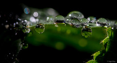 Each raindrop is a kiss from heaven (SteffPicture) Tags: macro green canon drops bokeh 100mm 28 grn makro raindrop 2014 regentropfen tropf wassertropf 5d3 5dmarkiii steffpicture