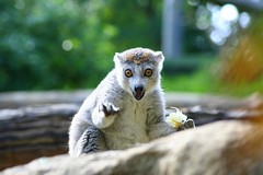 (Doodles N' Dabbles) Tags: animal mammal zoo lemur ringtailed