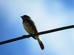 Mais um passarinho... (Márcio Vinícius Pinheiro) Tags: bird nature animal rural natureza passarinho pássaro finch sparrow ave pardal tanager passer