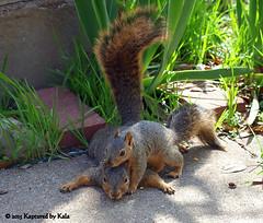Separation Anxiety Part 8 (Kaptured by Kala) Tags: baby nature concrete twins squirrel squirrels mother sidewalk motherandbaby babysquirrel separationanxiety foxsquirrel garlandtexas foxsquirrels mothersquirrel