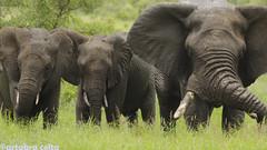 Elefants (artabracelta) Tags: elefante elefant lower sabie africa safari southafrica sudafrica summer verano portrait retrato nikon d5100 teleobjetivo tamron 70300 sabana tres naturaleza nature kruger