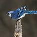 Blue Jay (Gary Fairhead) Tags: