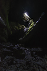 A Light in Dark Places (courtney_meier) Tags: apecave cascades mountsainthelens northerncascades pacificnorthwest swordfern washington washingtonstate basalt cave cavern caving ferns glowing lavatube moss spelunking underground