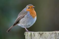 Robin (Shane Jones) Tags: robin bird wildlife nature nikon d500 200400vr tc14eii