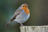 Robin (Shane Jones) Tags: robin bird wildlife nature nikon d500 200400vr tc14eii