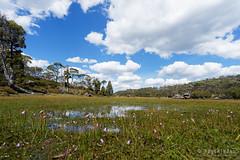 20170301-43-Orchids in marsh (Roger T Wong) Tags: australia greatpinetier np nationalpark sel1635z sony1635 sonya7ii sonyalpha7ii sonyfe1635mmf4zaosscarlzeissvariotessart sonyilce7m2 tasmania wha wallsofjerusalem worldheritagearea alpine bushwalk camp clouds hike landscape trektramp walk