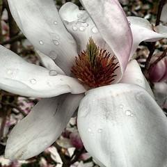 Fior di Magnolia (marlibe) Tags: magnolia rugiada fiore