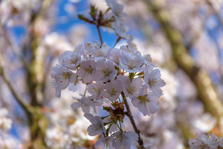 Kirschblüte?