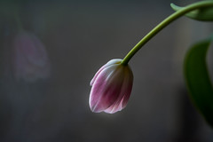 Bowed Down (Captured Heart) Tags: tulip pinktulip reflection prayer worship boweddown peace simplebeauty