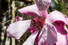 Single Magnolia flower (Keith in Exeter) Tags: magnolia flower pink single one garden tree blossom nature knightshayescourt devon