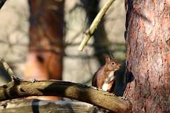 Reprise des activités. (Pierrick Berton) Tags: écureuil alsace printemps canonfrance