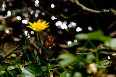 Butterflower Reflections (bobbybee2000) Tags: fujinon fujifilmxt2 nature natur bach outdoor light shades reflexionen wasser butterblume gelb gras schatten licht blume flower water