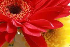 IMG_0477 (nelson_tamayo59) Tags: flor rojo amarillo natural jardin tenerife canarias macro