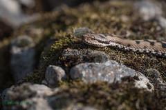 03-3224 (fix.68) Tags: reptile serpent vipèrepéliade