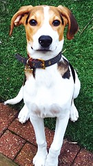 This is nugget! (jasminefisher1) Tags: colours light playful puppy eyes grass loyal pet beagle dog