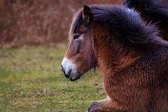 Exmoor pony taking a rest (stevehimages) Tags: exmoor pony sutton park steve steveh stevehimages higgins wowzers warden west midlands 2017 grandpasden