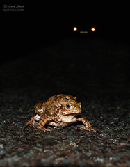 The Toad Crossing (wildlife_photo) Tags: bufo toad roads canon flash crossing night wildlife wild amphibian garry smith staffordshire cannock uk