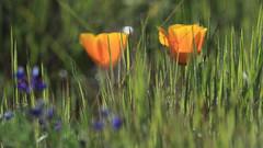 Poppies (fksr) Tags: plant flowers californiapoppy grass shallowdepthoffield chinacampstatepark marincounty california
