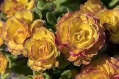 2017/03/15 16h12 Jardin Public (Valéry Hugotte) Tags: 100mm bordeaux jardinpublic canon canon5d fleur flower jardin macro macrophotographie nouvelleaquitaine france fr dreams