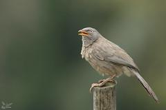 Angry bird (nomane172) Tags: junglebabbler bird babbler animal outdoor wildlife nature wildlifephotography naturephotography birdsofbangladesh dhaka bangladesh nikon nikond500 d500 tamron tamron150600mm 150600mm ngc angrybird