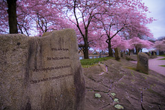 Cherry Blossom, Downtown Portland (Mstraite) Tags: tree cherry flower color spring downtown portland oregon pink