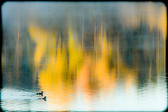 500_1317-2 (DianeBerky19) Tags: 2016 jacksonholewyoming summitnatureworkshop wy nikon sunrise reflections ducks redbreastedmergansers