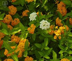Oddballs (DGS Photography) Tags: missouri branson silverdollarcity bloom blossom beautiful white yellow oddball