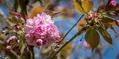 Blossom (Wayne Cappleman (Haywain Photography)) Tags: wayne cappeman haywain photography hampshire blossom king george v playing fields park