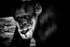 Chimp - character gaze (TMC-Fotografie.de) Tags: portrait ape chimpanzee daytime endangeredspecies large monkey primate zoo schimpanse snacking character charakter available light