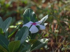 DSC00182 (familiapratta) Tags: sony dschx100v hx100v iso100 natureza flor flores nature flower flowers