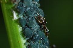 Ant Farm (Procrustes2007) Tags: uk england suffolk britain wildlife flash nikond50 sudbury aphid blackant aphididae formicidae wildlifephotography blackbeanaphid aphisfabae tamron2xteleconverter nikkor50mmais d50macro formicarufus vivitarextensionrings68mmtotal