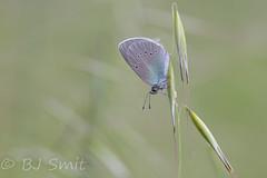 Green-Underside Blue / Bloemenblauwtje (Glaucopsyche alexis) (BJSmit) Tags: butterfly insect bulgaria insekt schmetterling vlinder lycaenidae glaucopsyche greenundersideblue glaucopsychealexis canonef100mmf28lmacroisusm blagoevgradprovince starchevo bloemenblauwtje
