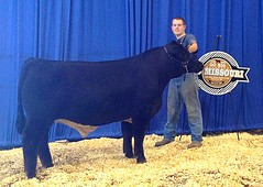 "4th Steer Overall Simmental Regionals '13 • <a style=""font-size:0.8em;"" href=""http://www.flickr.com/photos/25423792@N05/14252017118/"" target=""_blank"">View on Flickr</a>"