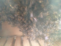 Honey Bees in a Warre beehive